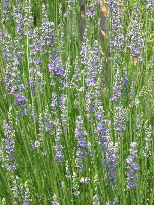naturally grown lavender